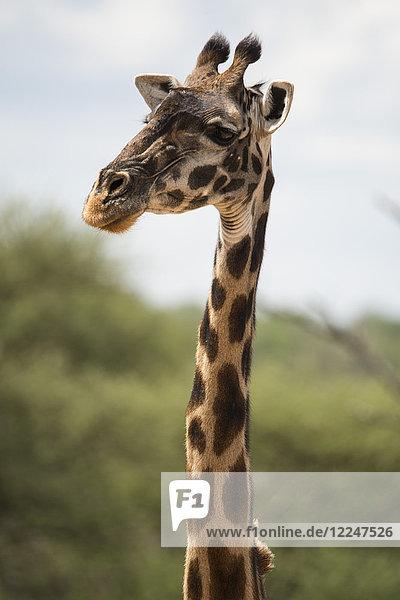 A Masai giraffe (Giraffa camelopardalis) in Serengeti National Park  Tanzania  East Africa  Africa