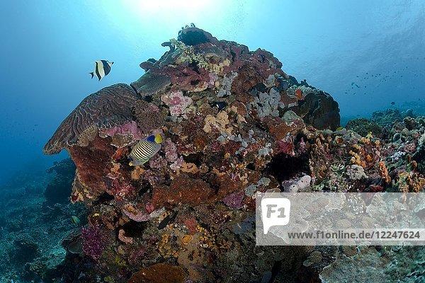 Moorish idol (Zanclus cornutus) and Royal angelfish (Pygoplites diacanthus) in the coral garden  Nusa Penida  Nusa Lembongan  Bali  Indonesia  Asia