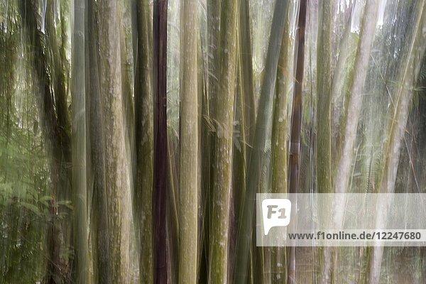 Bambuswald  Nantou  Taiwan  China  Asien