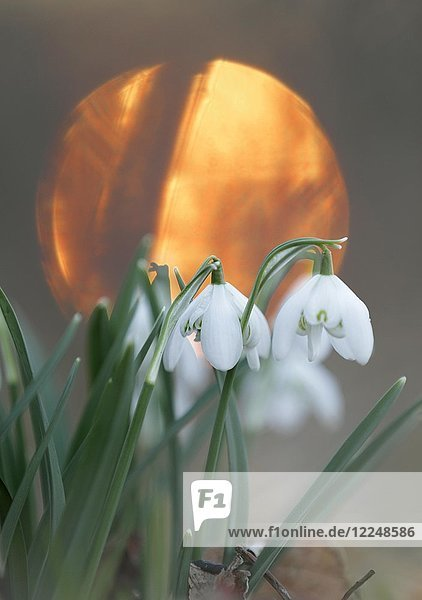 Snowdrops (Galanthus nivalis)  sun in the back  National Park Harz  Saxony-Anhalt  Germany  Europe