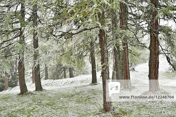 Forest with larch  first snowfall in autumn  Obernberg  Tyrol  Austria  Europe