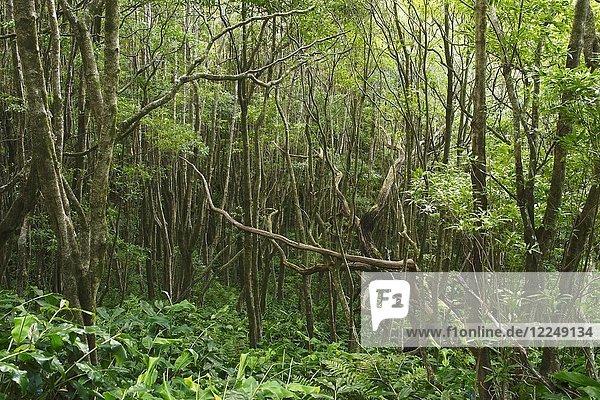 Dichte Vegetation auf der Ilha das Flores  Insel Flores  Azoren  Portugal  Europa