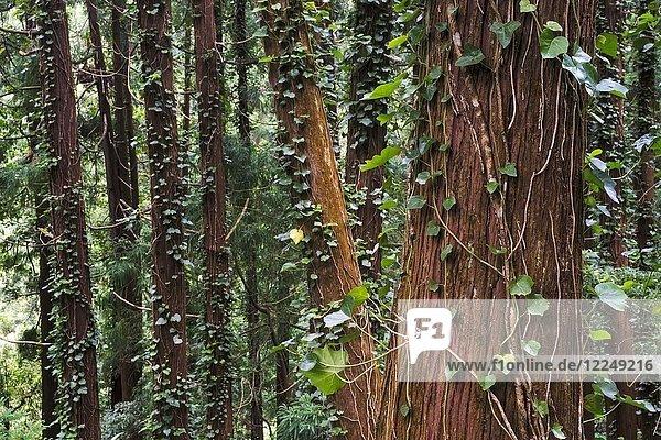 Wald mit Efeu auf Sao Miguel  Azoren  Portugal  Europa