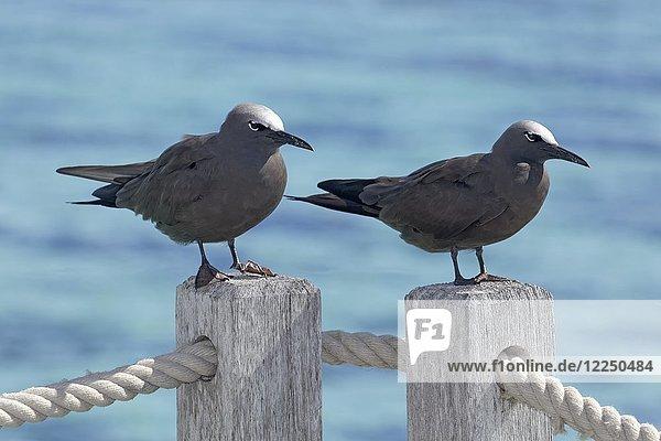 Lavamöven (Larus fuliginousus)  sitzen auf Geländer  Moorea  Französisch Polynesien