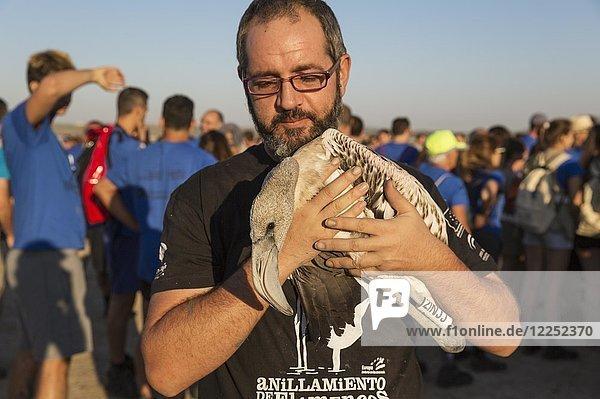 Rosaflamingo (Phoenicopterus roseus) erhält ärztliche Untersuchung und Beringung durch freiwillige Helfer  Laguna de Fuente de Piedra  Provinz Malaga  Andalusien  Spanien  Europa