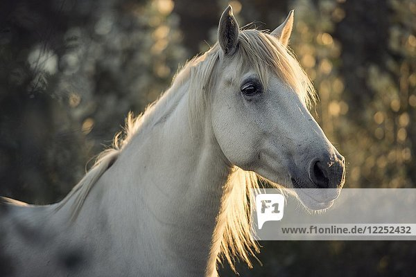 Camargue horse (Equus)  animal portrait  Mare  France  Europe