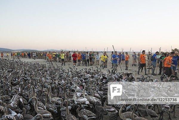 Freiwillige fangen Rosaflamingos (Phoenicopterus roseus) für Beringung und medizinische Untersuchungen  Laguna de Fuente de Piedra  Provinz Malaga  Andalusien  Spanien.