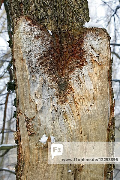 Wounded tree trunk due to broken branch  Biosphere Reserve Middle Elbe  Dessau-Roßlau  Saxony-Anhalt  Germany  Europe