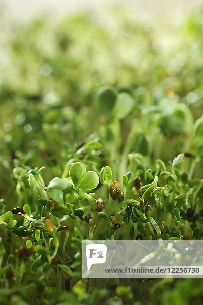 Echte Brunnenkresse Sprossen (Nasturtium officinale)