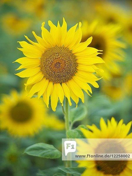 Sonnenblumen (Helianthus)  Sonnenblumenfeld  Nordrhein-Westfalen  Deutschland  Europa