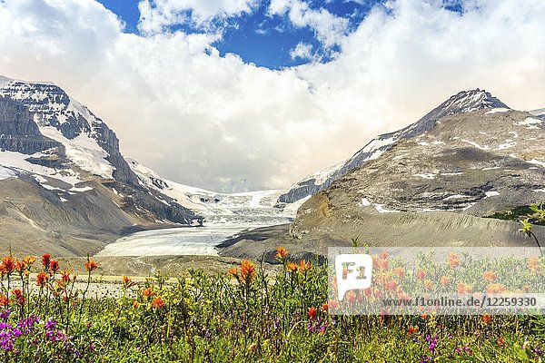 Columbia Icefield with Snow Dome  orange and violet flowers  Jasper National Park  Alberta  Canada  North America