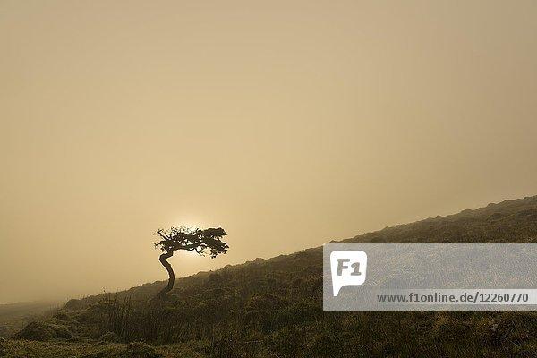 Einzelner Baum  Windflüchter  auf Wiese vor nebligen Morgenhimmel  Insel Pico  Azoren  Portugal  Europa