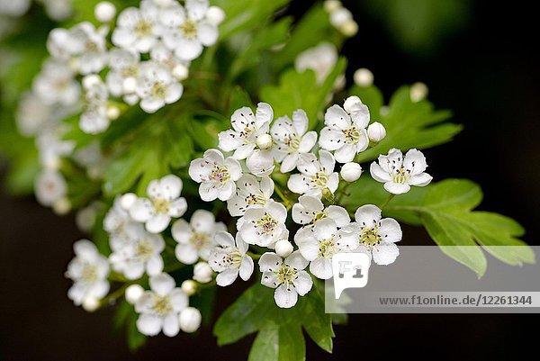 Weißdorn (Crataegus)  Zweig mit weißen Blüten  Nordrhein-Westfalen  Deutschland  Europa