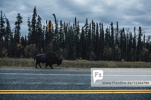 Kanada  British Columbia  Northern Rockies  Alaska Highway  Bison auf der Strasse