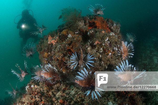Unterwasseraufnahme eines Tauchers und einer Gruppe invasiver Rotfeuerfische  Quintana Roo  Mexiko