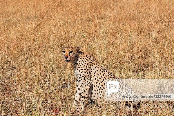 Serengeti National Park. Cheetah ( Acinonyx jubatus ) in savanna. Tanzania.
