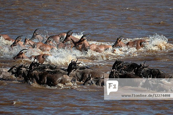 Masai Mara National Reserve. Herd of migrating wildebeest (Connochaetes taurinus) crossing Mara river. Kenya.