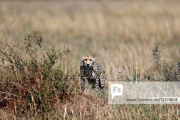 Cheetah (Acinonyx jubatus) in savanna. Masai Mara game reserve. Kenya.