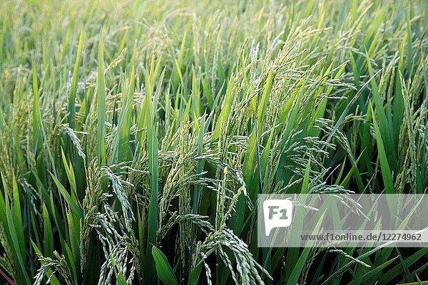 Green rice field. Ear of rice. Thay Ninh. Vietnam.