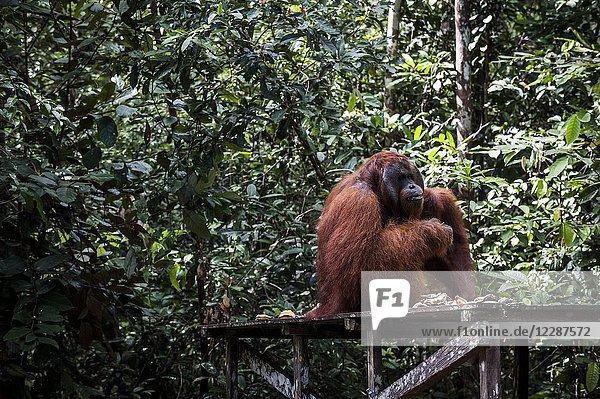 Alpha male Orangutan eating in Tanjung Harapan Camp  Tanjung Puting National Park (Central Kalimantan Province  Borneo  Indonesia).