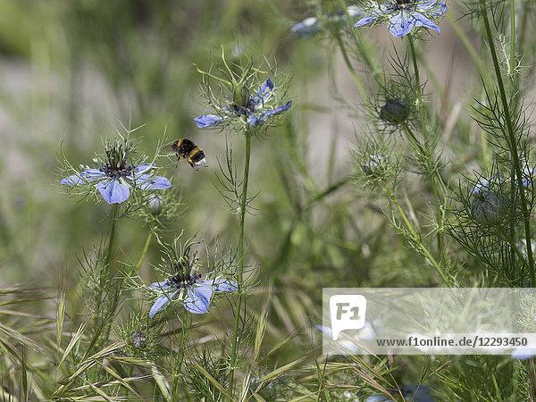 Close-up of bumblebee on Nigella flower