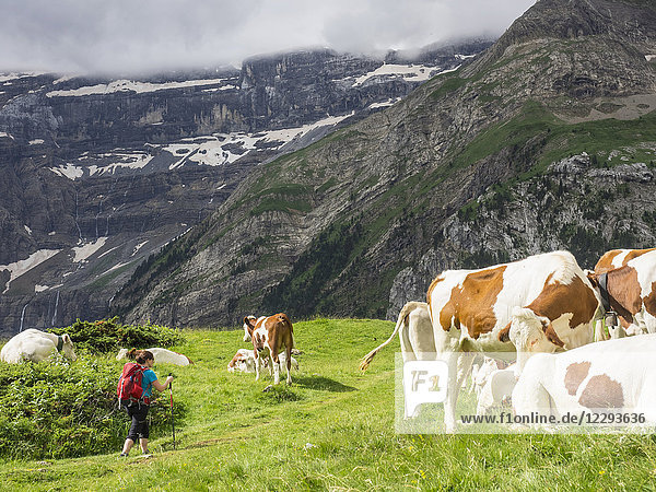 Woman hiking by cows in the High Pyrenees on a single trail with view over Cirque de Gavarnie  France