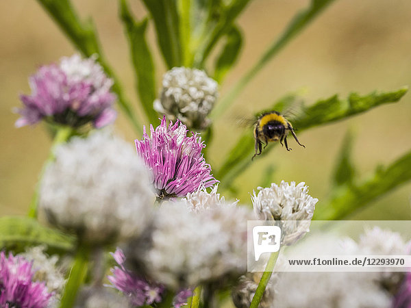 Bumblebee flying over white and purple Chives flower