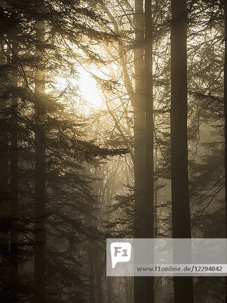 Silhouette of trees against sky in Black Forest  Baden-Wurttemberg  Germany