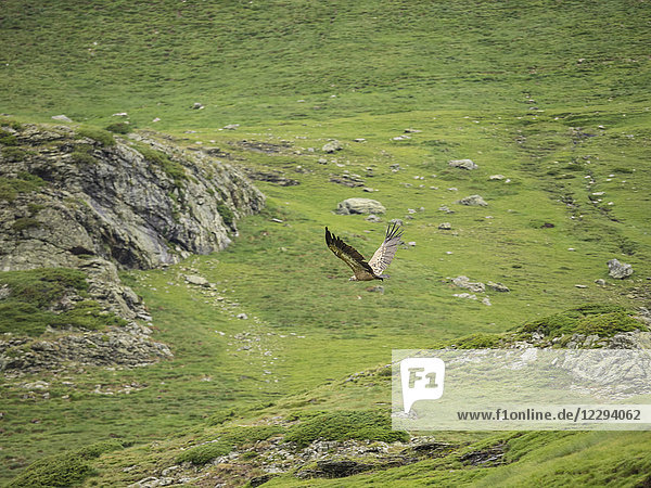 Flying vulture near Refuge des Espuguettes  France