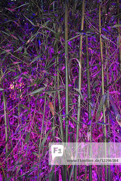 Vollbildaufnahme des Bambushains bei Nacht