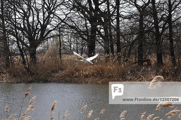 Deutschland  fliegender Schwan über dem See