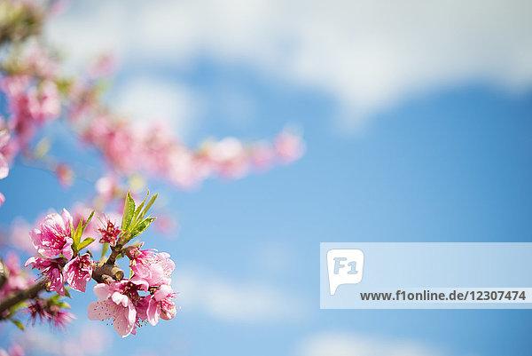 Rosa Pfirsichblüten gegen den Himmel,  Nahaufnahme