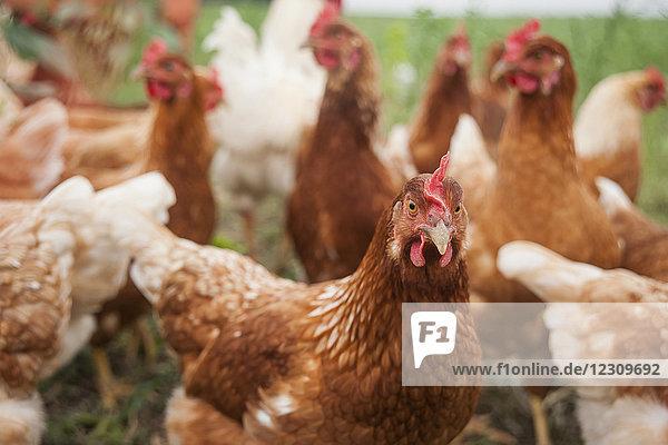 Germany,  Chicken on farm, Germany,  Chicken on farm