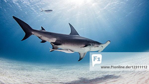 Underwater view of great hammerhead shark  Alice Town  Bimini  Bahamas