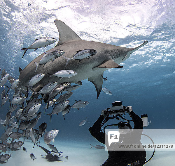 Underwater view of diver photographing great hammerhead shark from seabed,  Bayley Town,  Bimini,  Bahamas