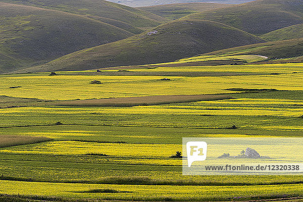 Flowering lentils on the Piano Grande  Monte Sibillini National Park  Umbria  Italy  Europe