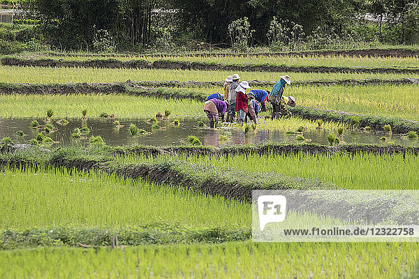 People planting rice in fields near Phonsavan; Xiangkhouang  Laos