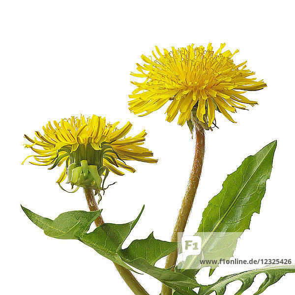 Bright yellow dandelions with green leaves on a white background