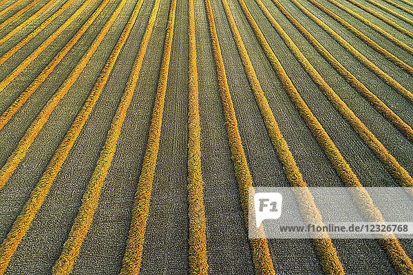 Aerial views of canola harvest lines glowing at sunset; Blackie  Alberta  Canada