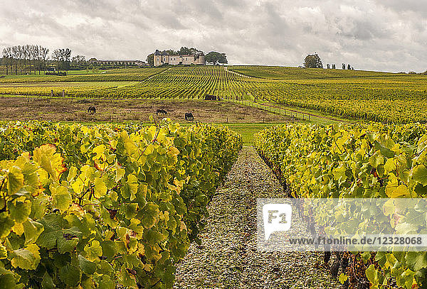 South West France  PDO wine Sauternes vineyard  chateau Yquem and its vineyards  First Growth ''Premier cru superieur classe''. Mandatory credit: Yquem castle