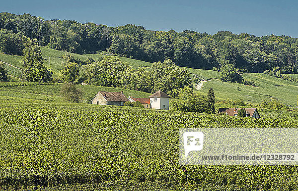 France  Grand Est  Marne  houses in the middle of the Chamery vineyard  Coteaux de Champagne