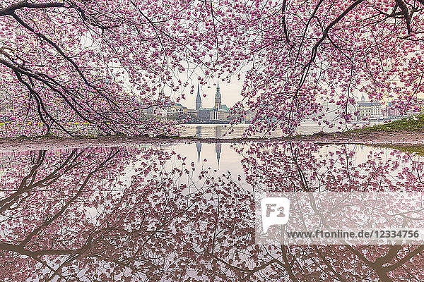 Germany  Hamburg  Germany  Hamburg  blossoming cherry tree at Binnenalster  water reflections of town hall and St. Nicholas' Church