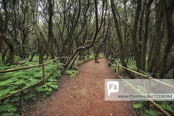 Spain  Canary Islands  La Gomera  Laurisilva  Garajonay National Park