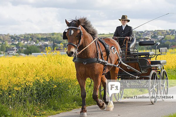 Woman coaching a horse-drawn carriage on a meadow in Bornheim near Bonn  Germany.