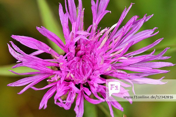 Centaurea  genus of between 350 and 600 species of herbaceous thistle-like flowering plants in the family Asteraceae. Members of the genus are found only north of the equator  mostly in the Eastern Hemisphere  the Middle East and surrounding regions are particularly species-rich. Common names for this genus are centaury  centory  starthistles  knapweeds  centaureas and the more ambiguous 'bluets'  a vernacular name used for these plants in parts of England is 'loggerheads' (common knapweed). Sorteny valley Natural Park. Andorra  Europe.