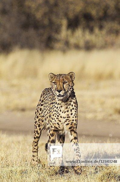 Cheetah (Acinonyx jubatus). Photographed in captivity. Harnas Wildlife Foundation,  Namibia.