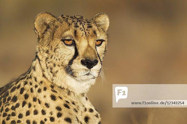 Cheetah (Acinonyx jubatus). Male. Photographed in captivity on a farm. Namibia.