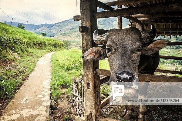 Asian water buffalo in Ta Van village  Muong Hoa Valley  Sa Pa (Lao Cai province Vietnam).