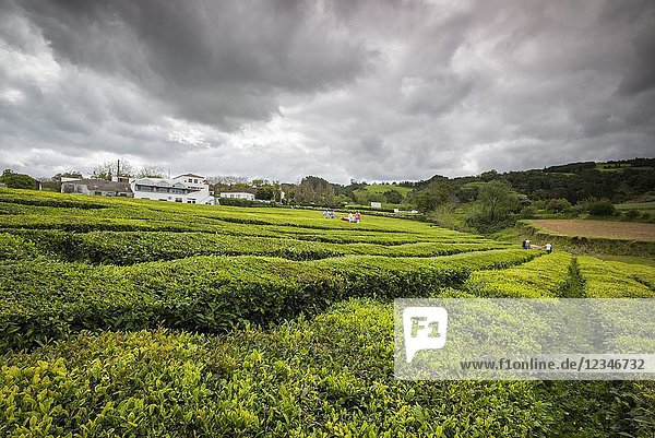Portugal  Azores  Sao Miguel Island  Gorreana  Gorreana Tea Plantation  one of the last tea growers in Europe  workers harvesting tea.