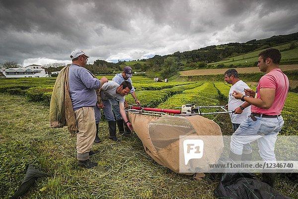 Portugal  Azores  Sao Miguel Island  Gorreana  Gorreana Tea Plantation  one of the last tea growers in Europe  workers harvesting tea.